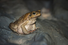 A Cane Toad In The Rainforests...