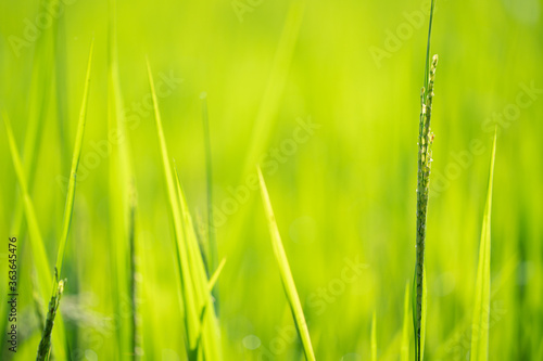 Close-up Of Crops Growing On Field #363645476