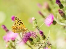 Mariposa Amarilla Y Negra Sobre Flores De Cardo