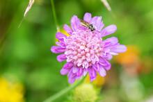 Wiesenblume Mit Schwebefliege