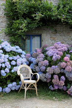 Hortensia Bushes And Rattan Chair