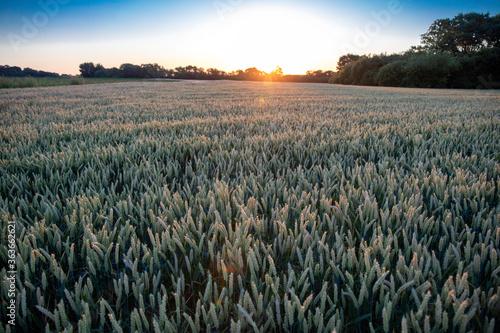 Obraz Lever du soleil sur les champs de blé - fototapety do salonu