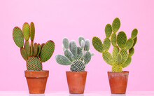 Opuntia Cacti On Pink Background