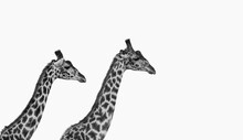 Two Male Giraffes Fighting Wit...