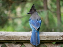 Brilliant Blue Jay Perched On Fence