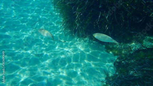 Salema porgy (Sarpa salpa) undersea, Mediterranean Sea, Cape of Antibes, France