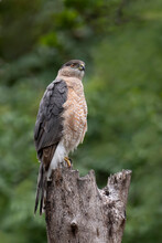 Coopers Hawk On A Tree Trunk