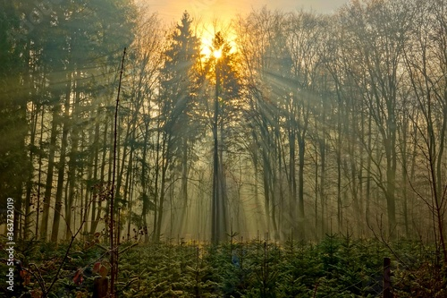 Sunlight Streaming Through Trees In Forest - 363732019