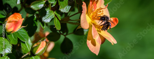 Obraz na plátně Bee pollinating the fragrant yellow and orange flowers of a rose bush