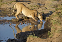 Lioness Drinking At Pool Of Water In Rocky Area, Masai Mara Game Reserve, Kenya