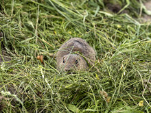 The European Ground Squirrel, Spermophilus Citellus, Lives In Colonies In The Wild And Is Threatened With Extinction