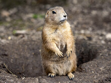 The Black-tailed Prairie Dog, Cynomys Ludovicianus, Lives In Colonies On The American Prairies