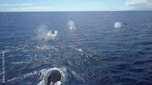 Fototapeta Humpback Whales Cruising in blue Ocean whalewatching  Aerial view