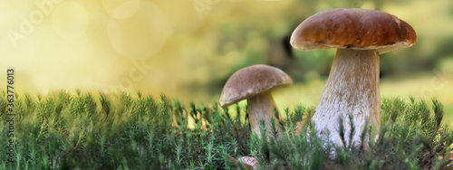 two cep mushrooms growing in the moss in forest in panoramic view Canvas