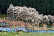 農村地帯の柵と桜