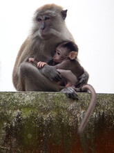 Baby Monkey That Suckle The Ni...