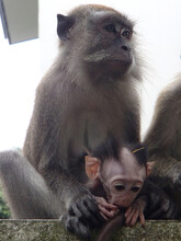 Monkey Holding His Baby That P...