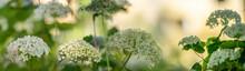 Hydrangea Arborescens In The Garden Close Up