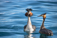 Couple Of Great Crested Grebes...