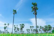 Many Tall Sugar Palm Trees Are...