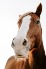 Vertical Picture Of A Beautiful Brown Horse Against A White Background