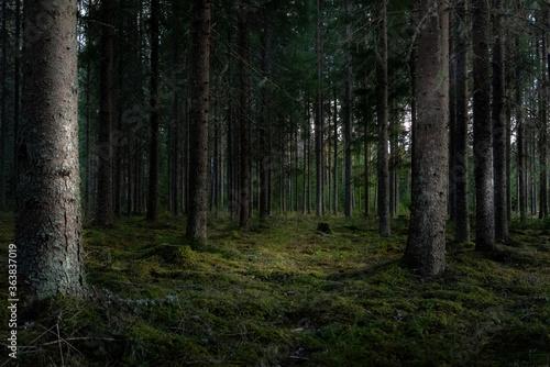 Fototapeta Pine Trees In Forest