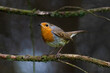 European Robin in woodland