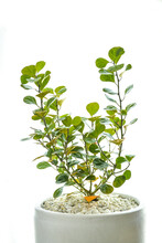 Mistletoe Rubber Plant Is An Ornamental Tree That Can Be Planted Inside The House. Because It Needs Less Sunlight And Water, Easy To Take Care Of. The Leaves Feature Is Special