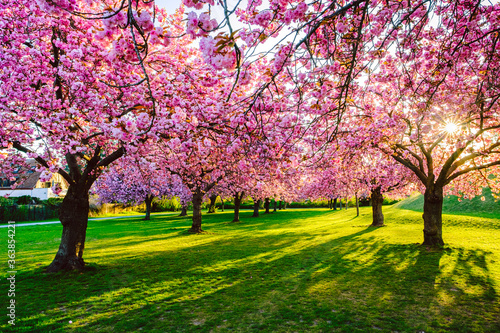 Foto Pink Cherry Blossoms In Park