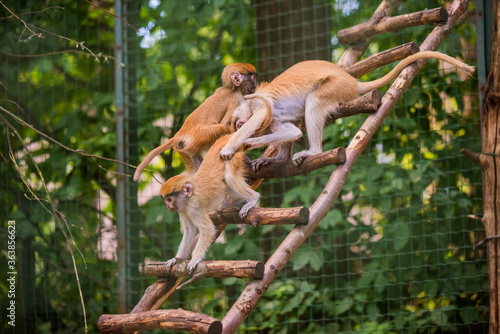 Photo Mother patas monkey and child in zoo