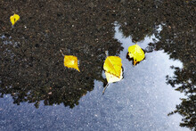 Yellow Autumn Leaves Lie In A ...