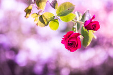 Branches Of A Climbing Rose Wi...
