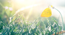 Butterflies On The Flowers Are Against The Backdrop Of Grasses With Water Droplets Or Dew With Blurred Bokeh.
