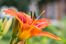 Orange Lilies After Rain
