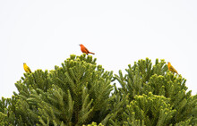 Red Tanager Posing On A Green ...