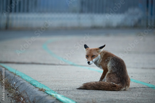 Valokuvatapetti Red fox vixen sitting on a pavement with a grey background.