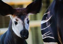 Close-up Portrait Of An Okapia