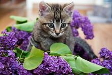 Mały Niebieskooki Kotek W Kwiatach Bzu