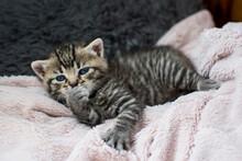 Mały  Niebieskooki Kotek