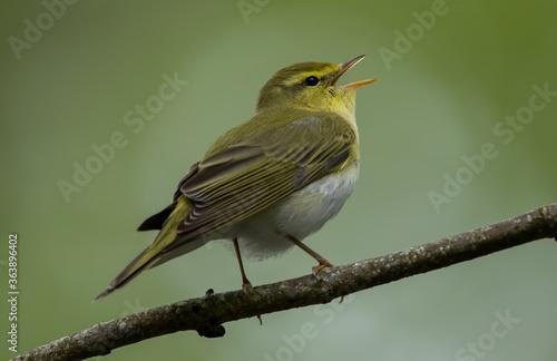 Wood Warbler Fototapeta