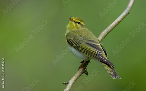 Wood Warbler Fototapete