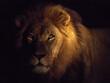 Portrait Of Male Lion Against Black Background