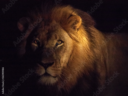 Fotografiet Portrait Of Male Lion Against Black Background