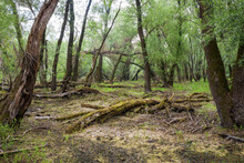 Riparian Forest With Old Trunks And Branches Covered In Green Moss Littering A Muddy Forest Floor. Marshland With Fallen And Decaying Trees In Summer.