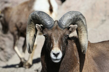 Close-up Portrait Of Bighorn S...