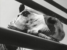 Close-up Of Horse Relaxing Thr...