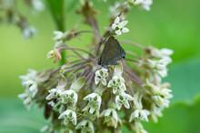 Banded Hairstreak Butterfly On Milkweed Flowers