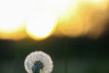 Close-up Of Dandelion Against ...