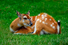 The Sitatunga Or Marshbuck (Tragelaphus Spekii) Is A Swamp-dwelling Antelope Found Throughout Central Africa,.