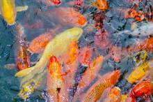 Many Goldfish Swim In The Pond...